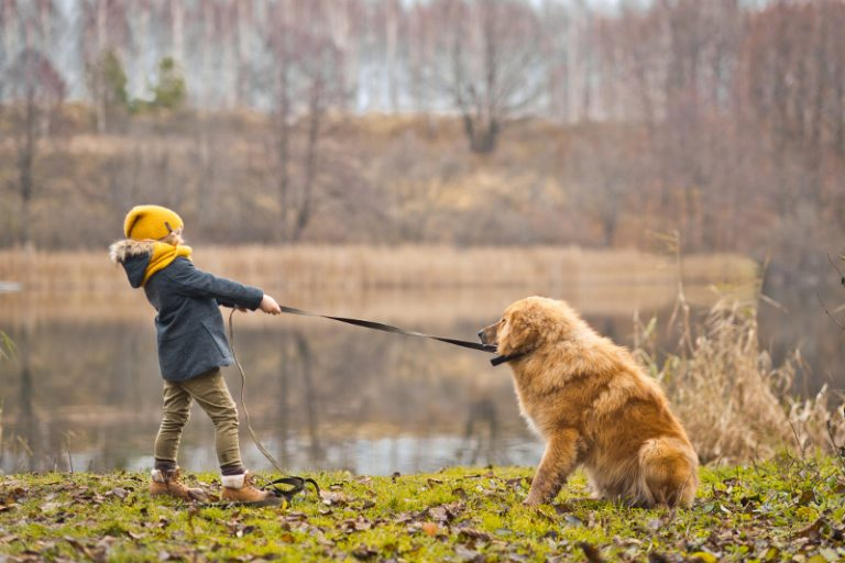 little child pulling the lead of a big dog