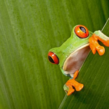 red eyed tree frog peeping curiously between green leafs in rainforest Costa Rica curious cute night animal tropical exotic amphibian