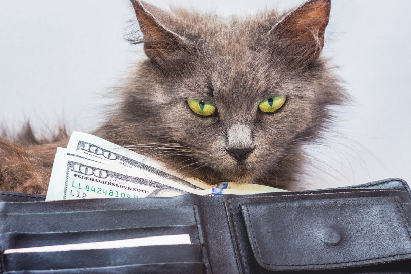 A fluffy cat with green eyes looks for dollars. Green eyes look at green bucks.